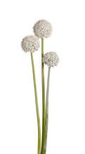 Three Flower Heads Of Onion (Allium Cepa) On White