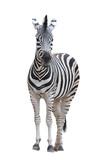 Fototapeta Fototapeta z zebrą - zebra isolated