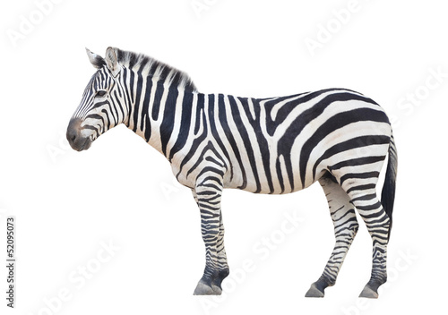 zebra isolated - 52095073