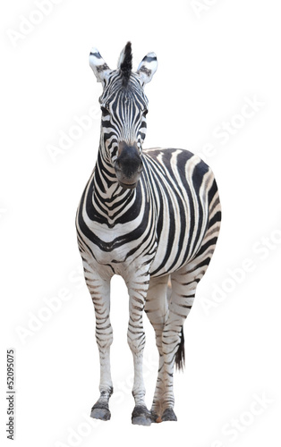 Photo sur Toile Zebra zebra isolated