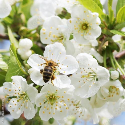 Plakat Pszczoła w kwiat jabłoni