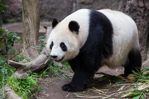 In de dag Panda Baby Panda