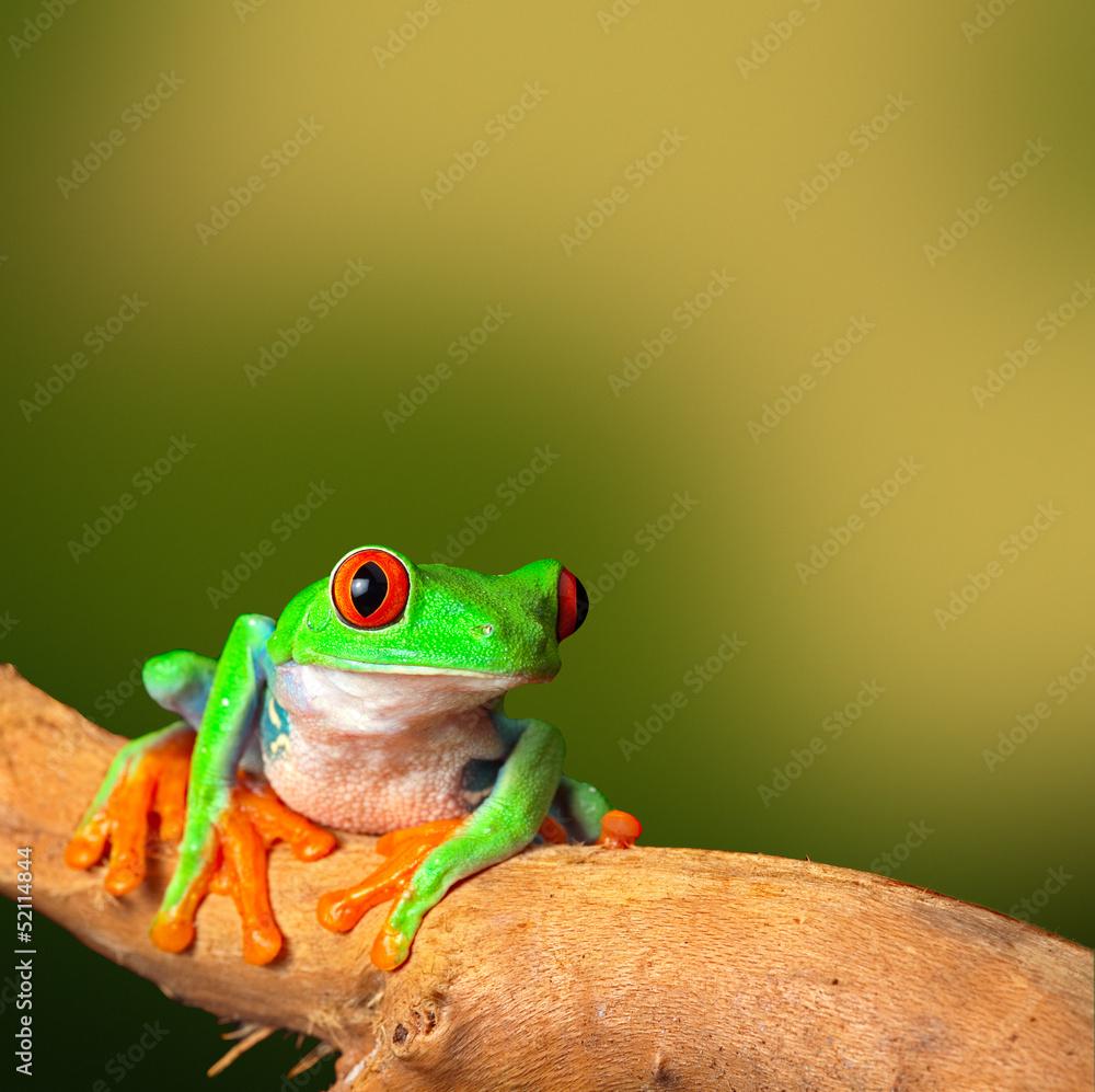 Fototapety, obrazy: tropical red eyed treefrog