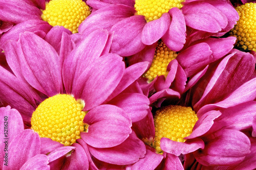 Spoed Foto op Canvas Macro Beautiful violet red dahlia flowers.Сloseup