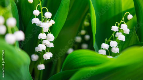 Wall Murals Lily of the valley Blooming Lily-of-the-valley