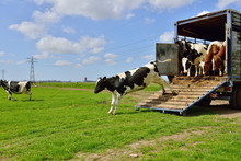 Livestock Transport Of Cows