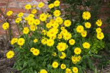 Doronicum,loveley Yellow Sring Flower