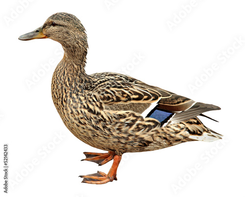 Fotografia Female Mallard, standing in front of white background