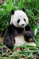 Fototapeta Panda Wild panda