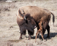 New Born Calf Eating