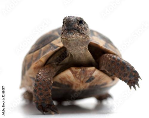 Fotografie, Obraz  Turtle