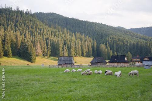 Sheep in the meadow - Chochołów, Zakopane