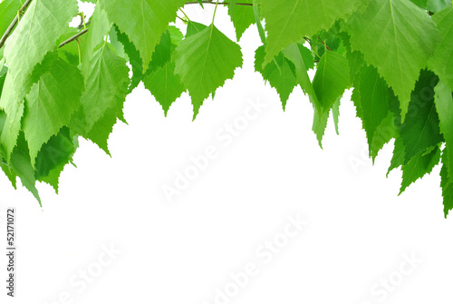 liście brzozy na białym tle