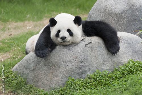 Valokuvatapetti Panda