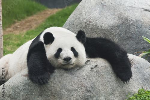 Panda Wallpaper Mural