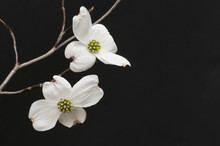 Branch Of White Dogwood Blossoms