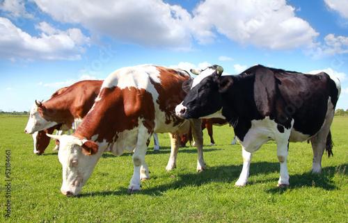 Fotobehang Koe Cows grazing on pasture