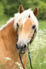 Gorgeous haflinger with bridle