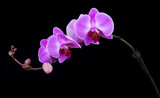 curved pink orchid