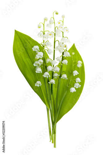 In de dag Lelietje van dalen Lily-of-the-valley flowers on white