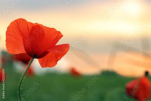 Canvas Prints Poppy poppy at sunset