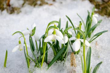 Fototapeta spring snowdrop snowflake flowers blooms snow