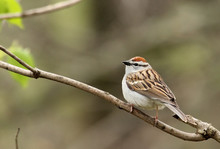 Chipping Sparrow, Spizella Pas...