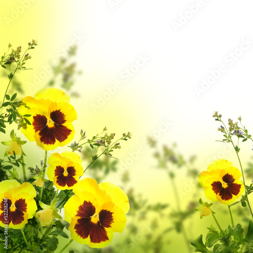 Ingelijste posters Pansies Yellow spring violets on a green background