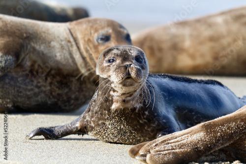 Fototapeta premium Seal Puppy in La Jolla Beach