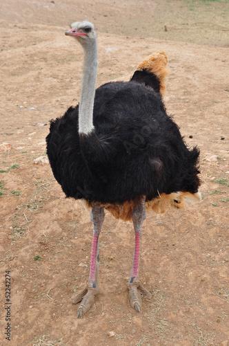 Staande foto Struisvogel african wild ostrich