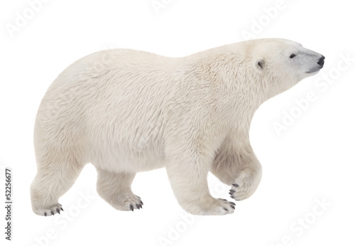 Poster Ijsbeer bear walking on a white background