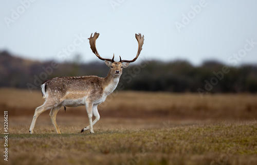 Photo  Fallow Deer male