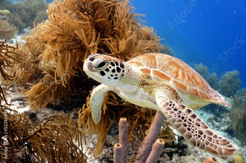 Tuinposter Schildpad Green Sea Turtle