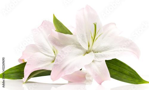 delikatna-lilia-z-zielonymi-listkami-na-bialym-tle