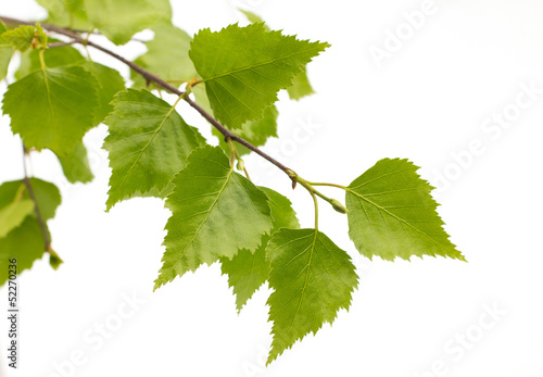 Fotografie, Obraz  Birch leaves of the tree.