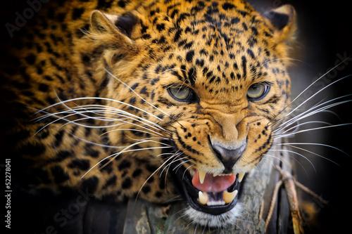 Foto auf AluDibond Leopard Leopard