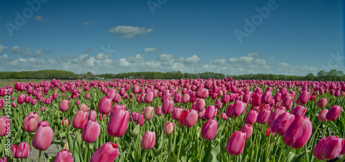 Acrylic Prints Flower shop tulip field