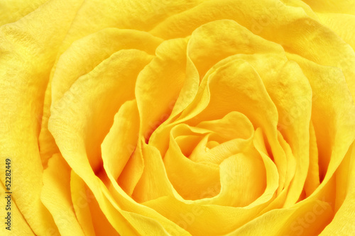 Spoed Foto op Canvas Macro Beautiful yellow rose flower. Сloseup