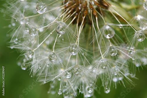 Poster Paardebloemen en water Dandelion after rain