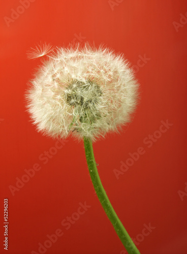 dandelion on red background