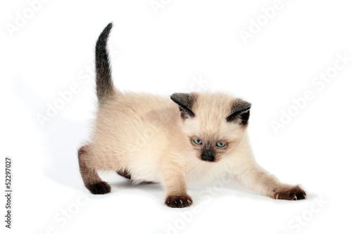 Fotografía  Playful siamese kitten