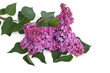 branch of blooming lilacs isolated on white background