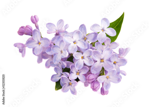 Photo sur Aluminium Lilac Lilac branch isolated on white background