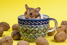 Hamster In A Colorful Old Cup ...