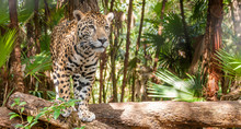 Walking Jaguar