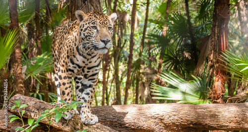 Photographie  Walking Jaguar