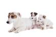 family jack russel terrier