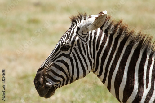 Tuinposter Zebra Head of Zebra