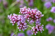 Blooming Verbena Bonariensis F...