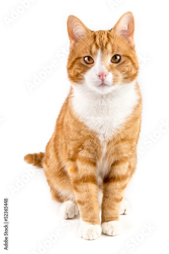 Foto op Aluminium Kat red cat, sitting towards camera, isolated in white